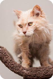 Addison, IL - Domestic Longhair. Meet Addie, a cat for adoption. http://www.adoptapet.com/pet/12521291-addison-illinois-cat