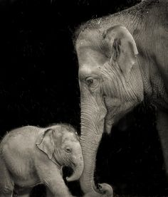 A baby elephant bonds with its mother at the Dublin Zoo - Photo by Chris Wild