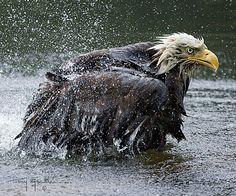 . Bald Eagle by photographer Tony Markle.  FABULOUS PHOTO!!!