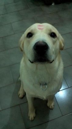 Love this photo! #labrador Member photo from Labradors.com #yellow #lab