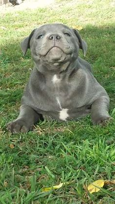 I ate, life is good. Blue Staffy Puppy, Staffy Dog, Staffordshire Bull Terrier Puppies, Pitbull Terrier, Cute Puppies, Cute Dogs, Dogs And Puppies, Pit Bulls, Animals And Pets
