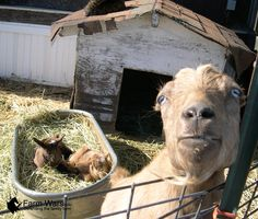 A Goat Will Keep You Alive - http://www.ecosnippets.com/livestock-animals/a-goat-will-keep-you-alive/