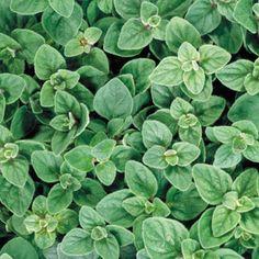 "Greek Oregano 100 Seeds / Origanum vulgare hirtum / Ht. 18"" / Maturity 85 days / cut and come again/ pest fighter / Blooms purple/white / trim to encourage branching / perennial"