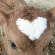 oof yea after watching a video on the dairy industry I literally don't wanna drink cow milk anymore bitch I'mma have almond/soy milk or something I cant do dis anymoreee Cute Baby Animals, Farm Animals, Wild Animals, Fluffy Cows, Baby Cows, Baby Elephants, Cute Cows, Oeuvre D'art, Cute Babies