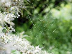 \おはよぉ♪シーベリーの樹に、クモの巣なんだよ。きれいだねえ♪ネックレスみたいだねえ♪ほわ~♪ #札幌 2012年6月23日撮影/\おはよっ!わぁ!きれい!/\ごきげんよう。まあ!素敵ね。/