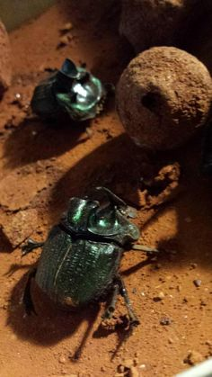 Getting up close to dung beetles now! #SU2015