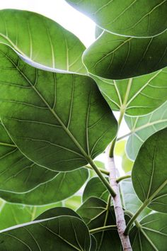 Leaves of the Indian Banyan tree.