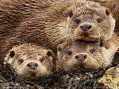 In the Shetland Islands a mother and two male cubs listen intently to the clicking of the photographer's camera. Description from wildography.co.uk. I searched for this on bing.com/images