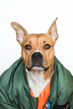 Pitbull Dog With Jacket Products with Shirts, Pillows, Phonecases and more. Perfect for Dog lovers. Dogs Names List, Dog Names, Fox Terriers, Schnauzer Miniature, Perros Pit Bull, Funny Dogs, Cute Dogs, Best Dogs For Kids, Boxer Dogs