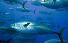 Por un atún que venga bien etiquetado para saber que nos comemos https://secured.greenpeace.org/espana/es/Que-puedes-hacer-tu/Ser-ciberactivista/atun/