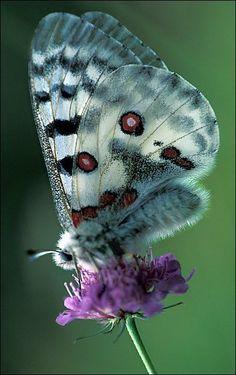 Alpine Apollo Butterfly