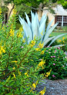 thryallis, mid summer blooming drought tolerant