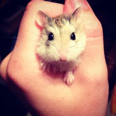 Pistachio the Russian Dwarf hamster Russian Dwarf Hamster, Dwarf Hamsters, Pistachio, Cute Animals, Pets, Board, Pistachios, Pretty Animals, Cutest Animals