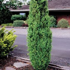 Boxwood Graham Blandy - Never more than 2 feet wide! This dense gray-green evergreen produces tiny fragrant flowers in April and May. Backyard Shade, Shade Garden, Garden Plants, Flower Gardening, Front Yard Plants, Front Yard Landscaping, Box Wood Shrub, Evergreen Hedge, Little Gardens