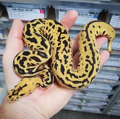 Pretty Snakes, Beautiful Snakes, Cute Reptiles, Reptiles And Amphibians, Snake Girl, Python Regius, Ball Python Morphs, Cute Snake, Pets For Sale