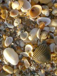 Sanibel Shell