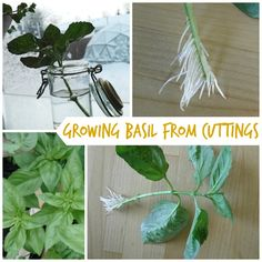 How to grow BASIL from cuttings and newer again worry about basil seed germination :)
