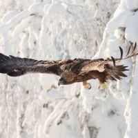 Golden Eagle in Kuusamo, Finland. Photography Tours, Wildlife Photography, Golden Eagle, Bald Eagle, Finland, National Parks, Nature, Animals, Photographers