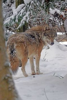 Beautiful Wolf at Repose.