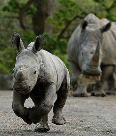 black rhinoceros mother - Google Search