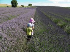 Talk a walk through lavender Days Out With Kids, Fun Days Out, Family Days Out, Days Out In England, British Country, Country Fashion, Lavender Fields, Outdoor Fun, Sunny Days