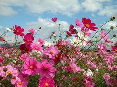 cosmos fotografias de flores - Buscar con Google