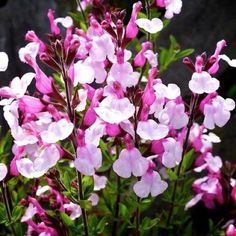 3 x SALVIA Joy - 9cm Pot (7MM)