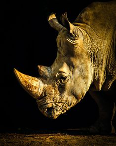Portrait of a Rhino by Michael T is part of Wild animals photography - List Of Animals, Animals And Pets, Cute Animals, Wild Animals Pictures, Animal Pictures, Rhino Pictures, Animal Original, Regard Animal, Rhino Art