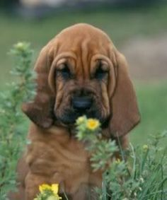 bloodhound, at least one! The Bloodhound Gang, Bloodhound Puppies, Cute Puppies, Cute Dogs, Baby Animals, Cute Animals, Cute Little Things, Dog Life, I Love Dogs