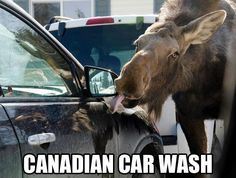 Funny pictures about Cars are washed differently in Canada. Oh, and cool pics about Cars are washed differently in Canada. Also, Cars are washed differently in Canada. Moose Pictures, Funny Animal Pictures, Funny Animals, Cute Animals, Animal Pics, Random Pictures, Comedy Pictures, Hilarious Pictures, Funny Car Memes