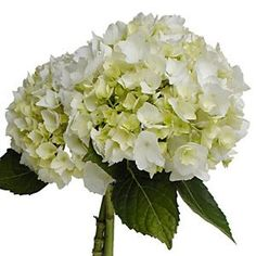Hydrangea Ivory White Flower  White Hydrangea flowers are made up of clusters of small 4 point shaped flowers. Our fresh cut hydrangeas have a big white bushy blooms that can stand alone or be combinded with other flowers to create stunning and easy to make wedding bouquets, table centerpieces or flower arrangements.