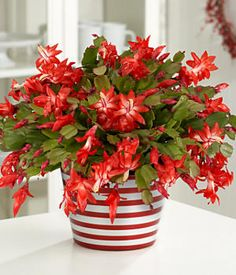 Schlumbergera - Christmas Cactus - do not overwater and give it lots of sunlight in winter.