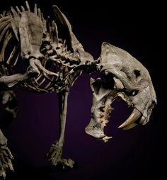 The finest known skeleton of a saber-tooth tiger headlines I.M. Chait's Important Natural History auction on May 4.