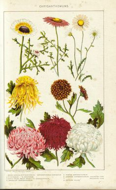 Historical painting of Chrysanthemums from the New International Encyclopedia 1902.