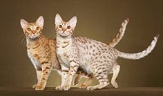 The Ocicat is an all-domestic breed of cat which resembles a wild cat but has no wild DNA in its gene pool. The breed is unusual in that it is spotted like a wild cat but has the temperament of a domestic animal. In 1964, a breeder thought to cross a Siamese with an Abyssinian, hoping that this would develop an Abyssinian pointed Siamese looking offspring. Much to their surprise, the result was a group of ivory coated, beautifully spotted kittens.