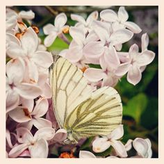Syrin og kålsommerfugl Insects, Plants, Animals, Animais, Animales, Animaux, Animal, Plant, Planting