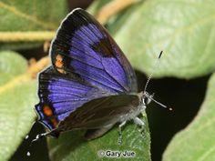 Butterfly  Colorado Hairstreak