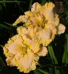 MARYZELL daylily - HAVE IT