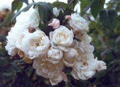 'Aimée Vibert' (Noisette)  Piccoli mazzi di fiori doppi, profumati, d'un bianco puro e di bella forma caratterizzano questa rosa. Appaiono a gruppi e fioriscono con regolarità, si ripetono in autunno. Gli intenditori la ritengono la più bella sarmentosa a fiori bianchi ed è difficile non essere d'accordo. Vigorosa, sana, quasi priva di spine.Creata da Vibert nel 1828. cm 350x300