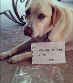 """""""Mom made 12 Scones... I ate 11."""" ~ Dog Shaming shame - Labrador"""