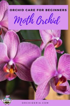 Moth Orchid Care: Complete Guide for Beginners - Lynnett Lavigne Phalaenopsis Orchid Care, Moth Orchid, Dendrobium Orchids, Orchid Plants, Miltonia Orchid, Jewel Orchid, Container Gardening Vegetables, Container Plants, Succulent Containers
