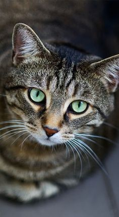 "Tabby Cats ""Acrobat, diplomat and simple Tabby cat. He conjures tangled forests in a furnished flat. Pretty Cats, Beautiful Cats, Animals Beautiful, Cute Animals, Pretty Kitty, Animals Images, I Love Cats, Crazy Cats, Cool Cats"
