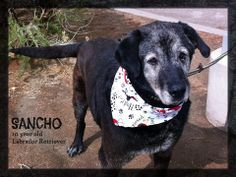 Sancho is our KOB Pet of the week! He is a 10 year old Labrador Retriever who is looking for a family to call his own. He is refined, past the puppy phase and would love to show you how wonderful a senior pet can be. Sancho (A0818397) is located at our Abq. animal welfare Westside shelter. www.cabq.gov/pets or call 311 for updated info