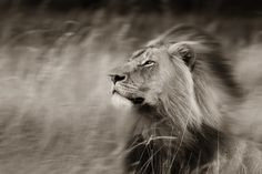 This male lion had taken to resting in long grass on a day where the light did not offer much and the wind was blowing a gale. As a result,. Animal Projects, Art Projects, Male Lion, Birds And The Bees, Wildlife Nature, Shutter Speed, Slow Shutter, Dancing In The Rain, Wildlife Photography