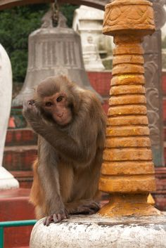 Monkey eyeing a visitor's food at Swayambhunath, or 'Monkey Temple' in Nepal.