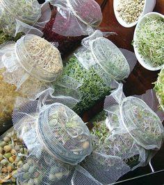 Germinadores de brotes en frascos:  Las semillas se lavan y se colocan en el frasco con agua (tres veces su volumen) La boca del frasco puede cubrirse con una tela delgada para que no entren los insectos.
