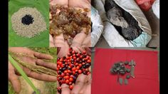 Tribal Medicines of Gandhamardan Hills for Cissus-Bacopa Toxicity: Film ...