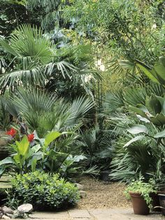 Palm and Gravel Mix -  Vertical jets of brilliant red cannas dot between the elegant, fanned leaves of Chusan palms in this informal clearing.