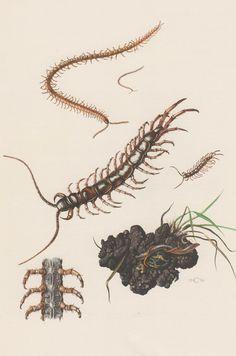 1956 Centipedes Antique Print Entomology Myriapoda by Craftissimo