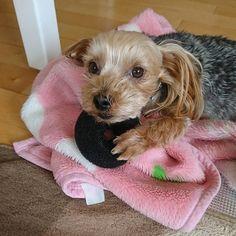2017 . 4 . 15 (土)  いいもの 見つけたけど ちょっと これは ゲットしたら ヤバかったみたいでしゅ。  おだんご*ヘアアレンジに使うもので 向こうで おねえちゃんが 怒ってるみたいでしゅ。  ちょっと  顔が 焦ってる ナナですが しっかり 爪を立てて 守ってます(笑)(笑)  #ヨークシャーテリア #ヨーキー  #ヨーキーLove  #垂れ耳ヨーキー #愛犬 #犬  #犬のいる生活 #泥棒
